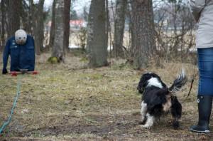 Ennen koulutuksen aloittamista koiralle tehdään pienimuotoinen käyttäytymistesti.